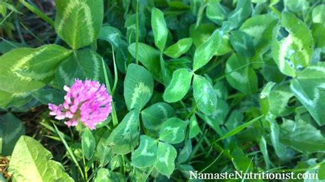 chaparral and red clover picture 5