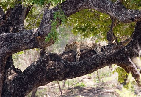 cheetah sleeping in a tree picture 18