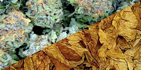 what herbs mimic the chemicals in cannabis picture 15