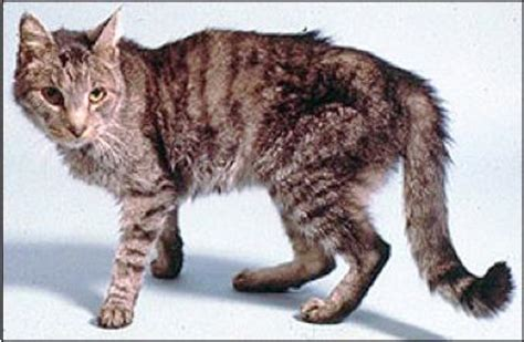 hyperthyroid cats picture 3