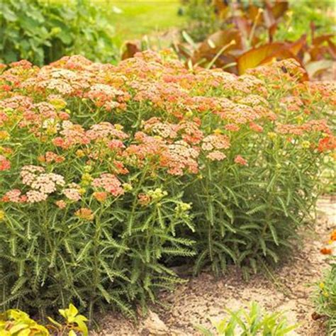 cut back yarrow picture 15