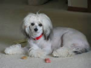 maltese dog and skin problems picture 15