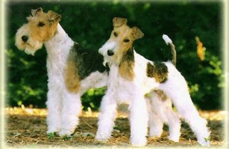 wire hair fox terriers picture 15