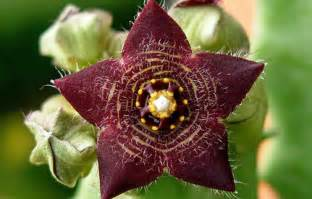 caralluma fimbriata works picture 3