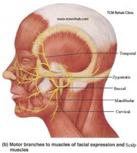 what nerves are affected by herpes picture 14