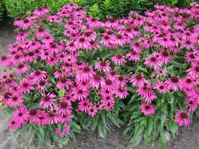 echinacea plants picture 2