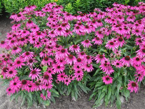 echinacea plant picture 1