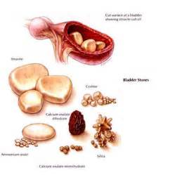 bladder stones canine picture 1