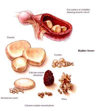 feline bladder disorders picture 10