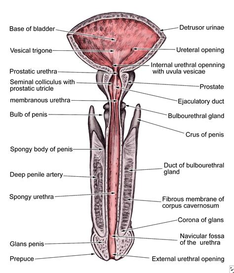 function of the urinary bladder picture 17
