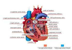 blood circulation anatomy picture 1