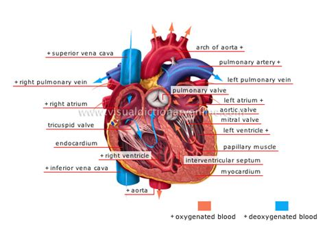 Blood flow animation picture 2