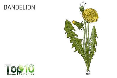 dandelion for health picture 9