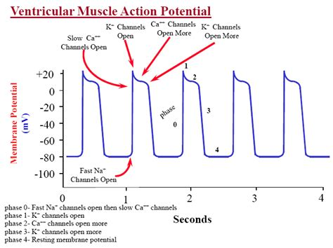 does ecg directly measure action potentials in muscle picture 3