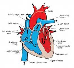 male blood flow picture 9