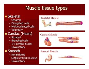 functions of smooth muscle picture 1