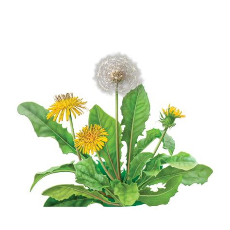 dandelion herbal supplement picture 10