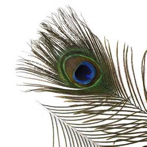 peacock feathers used as a herbal medicine picture 8