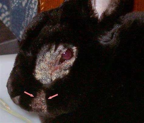 domestc rabbit skin diseases picture 14