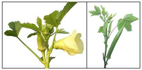 okra - philippine herbal medicine picture 6