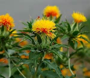 safflower picture 6