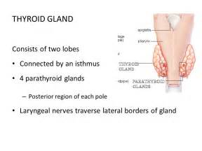 isthmus thyroid gland and normal size picture 2