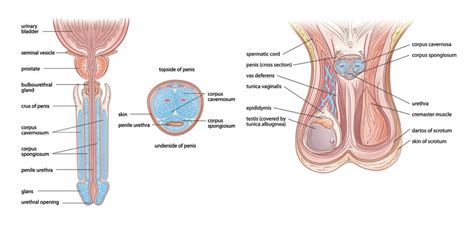 detailed diagram of the human penis picture 8
