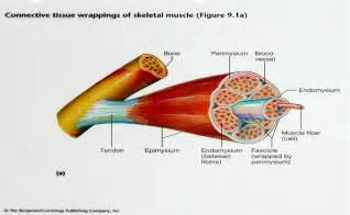descriptive muscle terminology picture 11