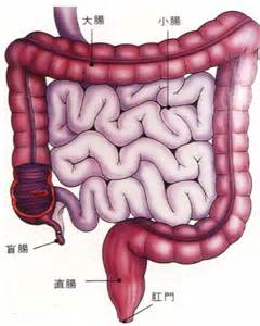 intestinal muscle ilieo picture 10