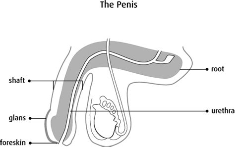 anatomy & physiology penis picture 6