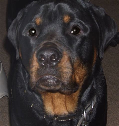 rottweiler aging picture 2