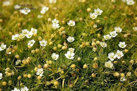 Irish Moss picture 1