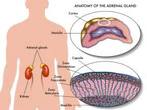 adrenal gland picture 15
