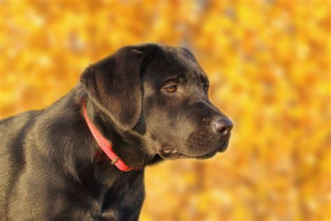 how to tell age of labrador h picture 7
