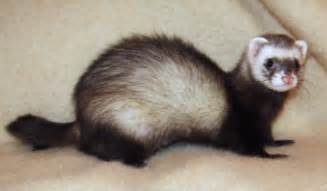 ferret digestion picture 13