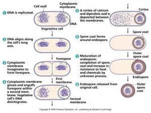 bacterial reproduction picture 17