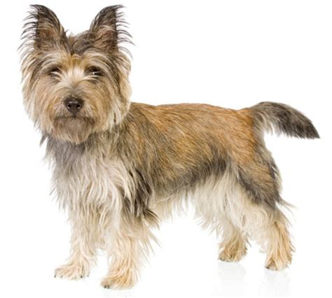 carin terrier hair cuts picture 7