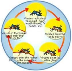 chikungunya virus symptoms and signs picture 11