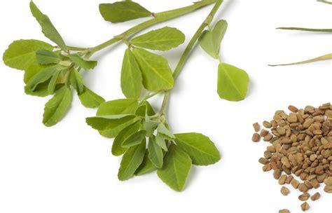 fenugreek leaves picture 15