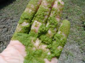 ponds bacterial control of algae picture 2