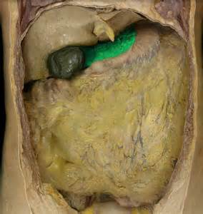 Colon digestive picture 3
