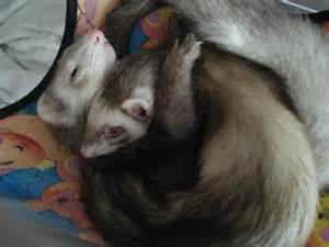 pictures of ferrets sleeping picture 2