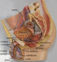study of the female bladder picture 3