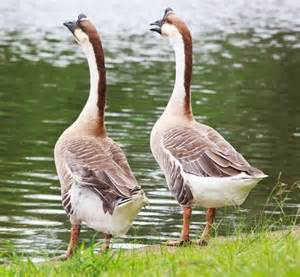 do geese have h picture 10