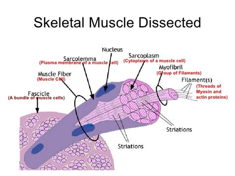 are smooth muscle multinucleated picture 10