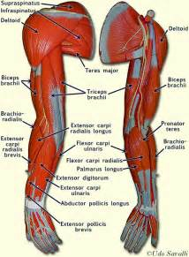 low back muscle charts psoasis picture 18