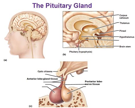 anterior pituitary picture 7