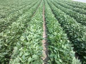 health soybeans picture 5