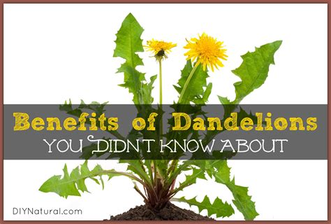 red dandelion greens health benefits picture 13