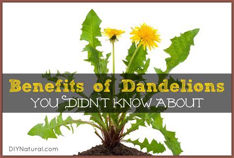 dandelion root tea benefits picture 14
